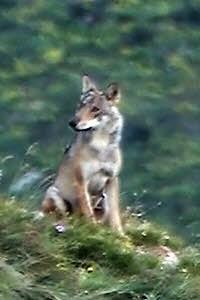 Preview image for LOM object Woher kommt die Angst vor Wölfen?