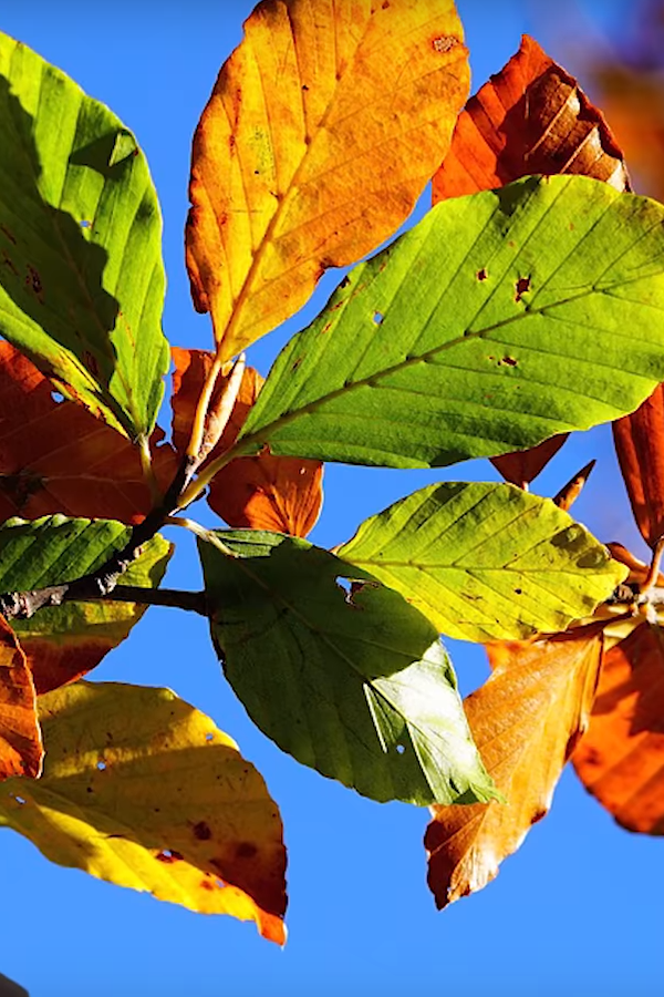 Preview image for LOM object Warum verlieren Bäume ihre Blätter?