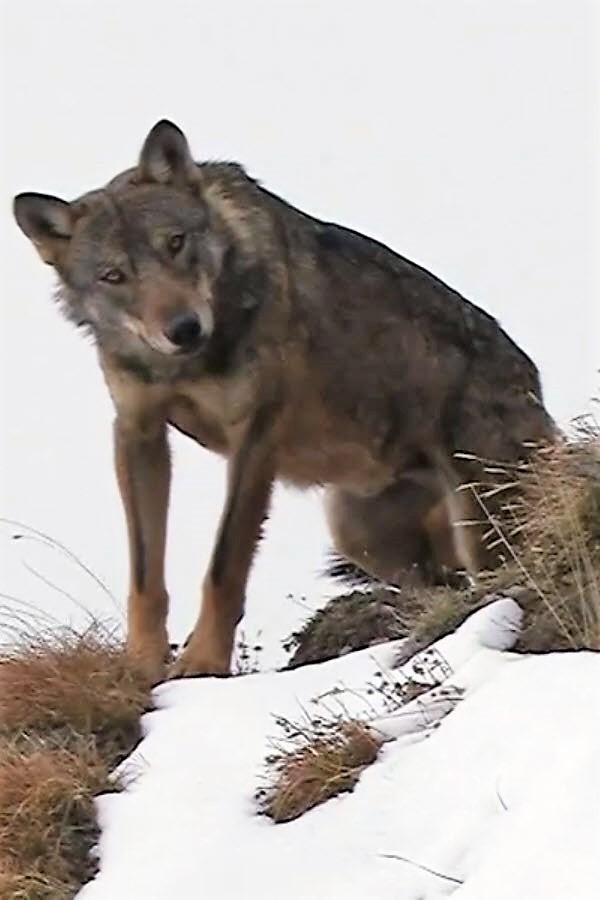 Preview image for LOM object Die vielen Wölfe der Schweiz